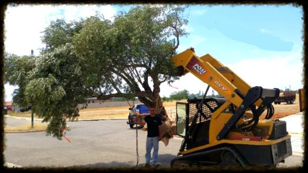 Olive tree transplant
