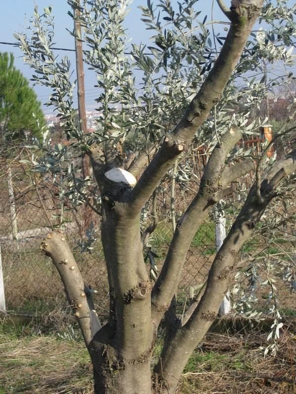 Pruned olive tree
